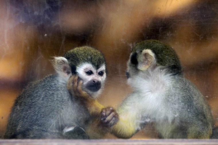 Image: Two squirrel monkeys play behind the glass pane of their enclosure at Prague Zoo in Prague