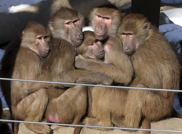 Image: Monkeys hug each other at a zoo in Gwacheon as temperature drops.
