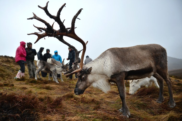 Image: The Cairngorm Reindeer Herd, Britain's Only Reindeer Herd Prepare For Christmas