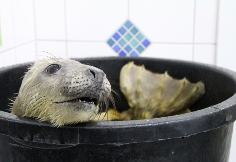 Image: Gray seal orphans in Friedrichskoog