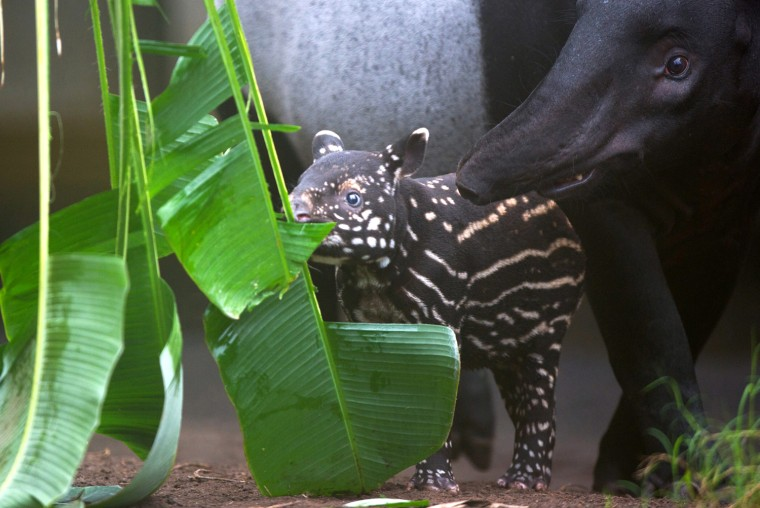 Image: Zoo looks for name for tapir offspring