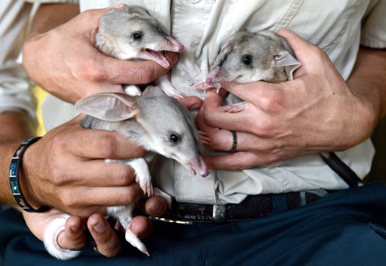 Image: One month old male triplet bilby joeys make their first appearance at Dreamworld on the Gold Coast