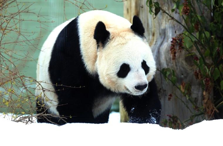 Image: Tian Tian, a female giant panda, walks through the snow in her enclosure at Edinburgh Zoo in Edinburgh, Scotland