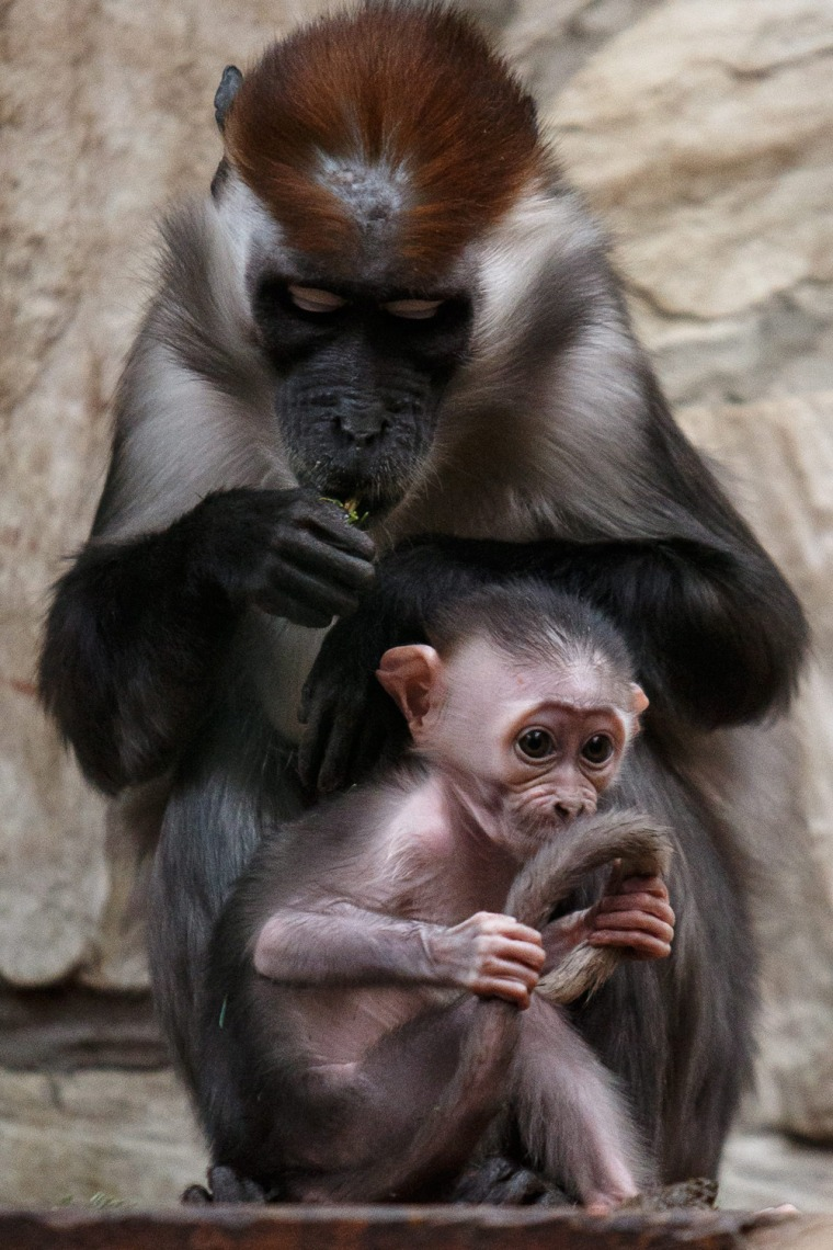 Image: Little collared mangabey in Zoo in Wroclaw