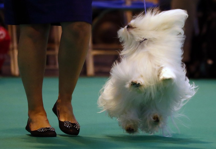 Image: A woman parades a Maltese dog for the judges during the second day of the Crufts Dog Show in Birmingham