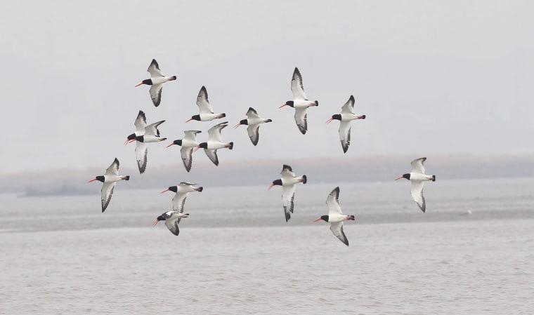 Image: Eurasian Oystercatcher birds