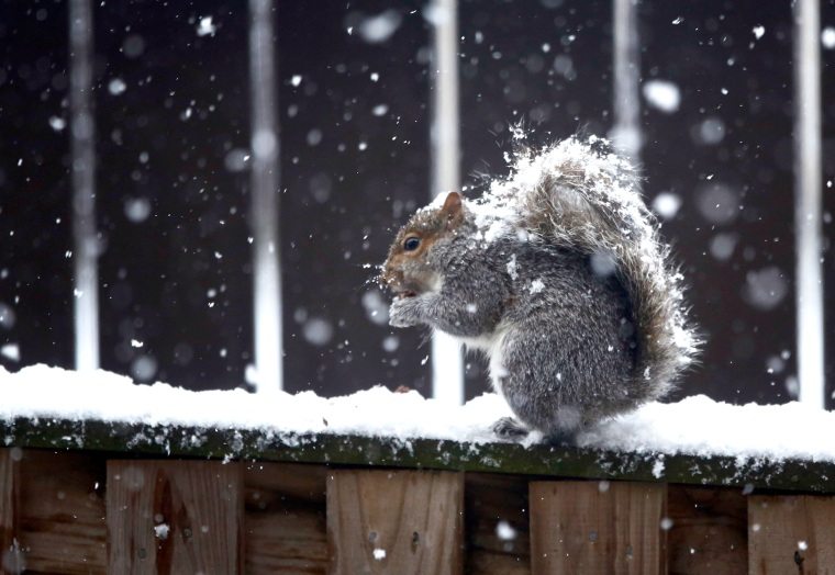 Image: A squirrel sits atop a snowy fence as it nibbles on food during a snowstorm in Arlington