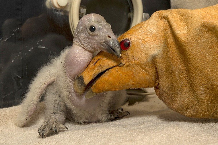 Image: Handout of Wesa, a two week old California condor chick at San Diego Zoo