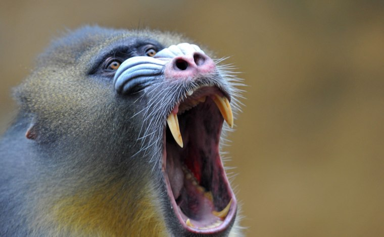 Image: Mandrill at zoo in Dresden