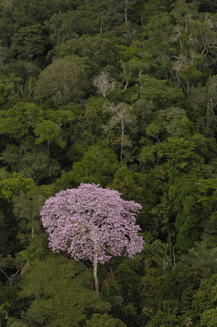 Rainforest Canopy with emergent flowering tree in Yasuni National Park. Amazon Rain Forest. ECUADOR. South America