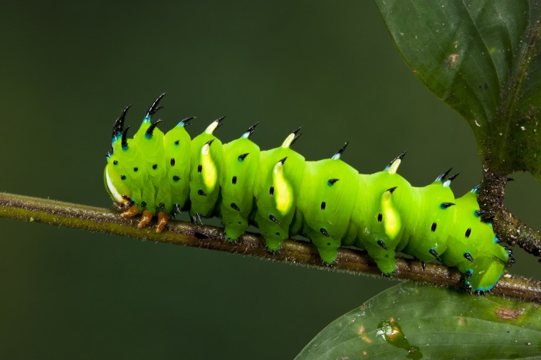 Regal Moth Caterpillar