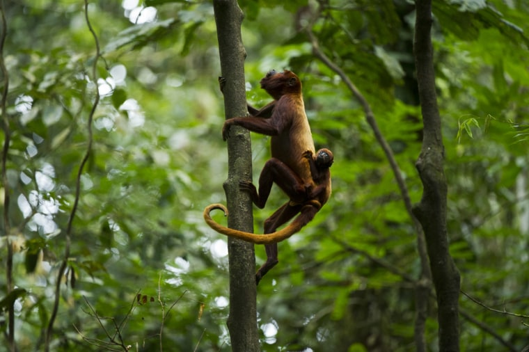Red Howler Monkey & Baby