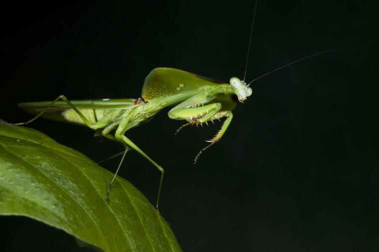 Leaf Mantid