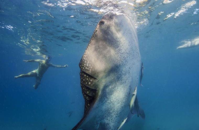 Image: A snorkeler swims next to a whale shark as it is fed from a feeder boat off the beach of Tan-awan