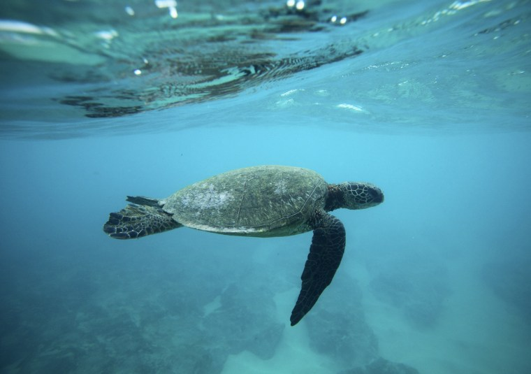 Image: A Green Sea turtle swims over a reef near the surf break known as 'Pipeline' on the North Shore of Oahu, Hawaii.
