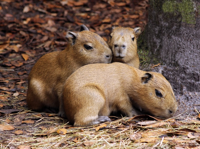 Three capybaras, born on March 17, crawl around at Brevard Zoo in Melbourne, Florida.  This is the second litter for parents Clancy and Bailey. Clancy, the sire, was born at the Buffalo Zoo in New York in 2011.  Bailey, the dam, was born at the Alameda Park Zoo in New Mexico in 2010.  They have been housed at Brevard Zoo for two years. The pups are on exhibit and guests are already enjoying watching them play.