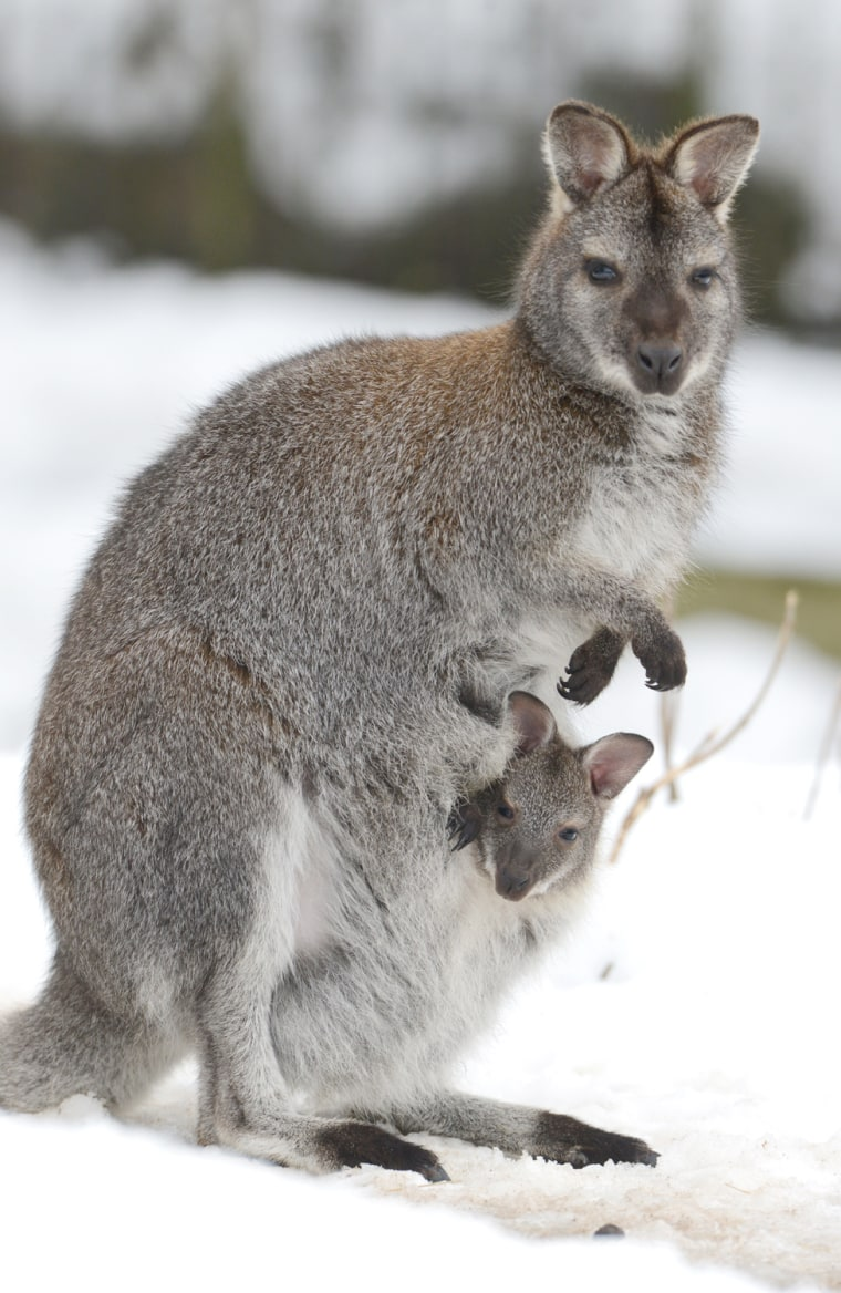 Image: GERMANY-ANIMALS-WALLABY