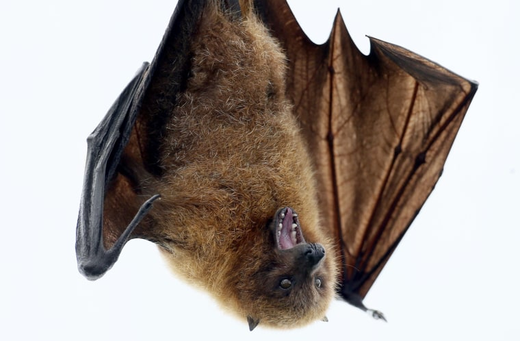 Image: A Rodrigue fruit bat hangs on a perch in the Masoala Rainforest hall at the zoo in Zurich