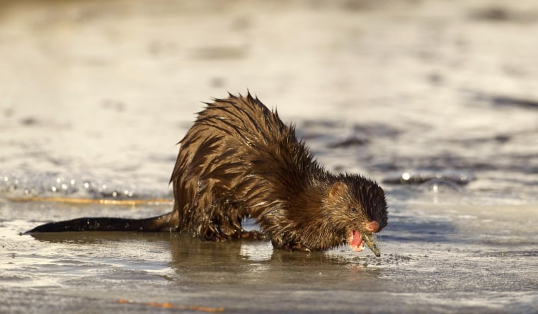 Image: Mink eats a fish at a channel of the Nalibokskaia Pushcha reserve near the village of Rum