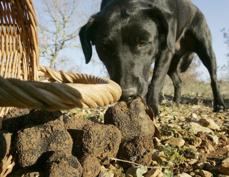 Ciska, a truffle-sniffing dog, checks out black truffles (Truffes du Perigord) in Sorges