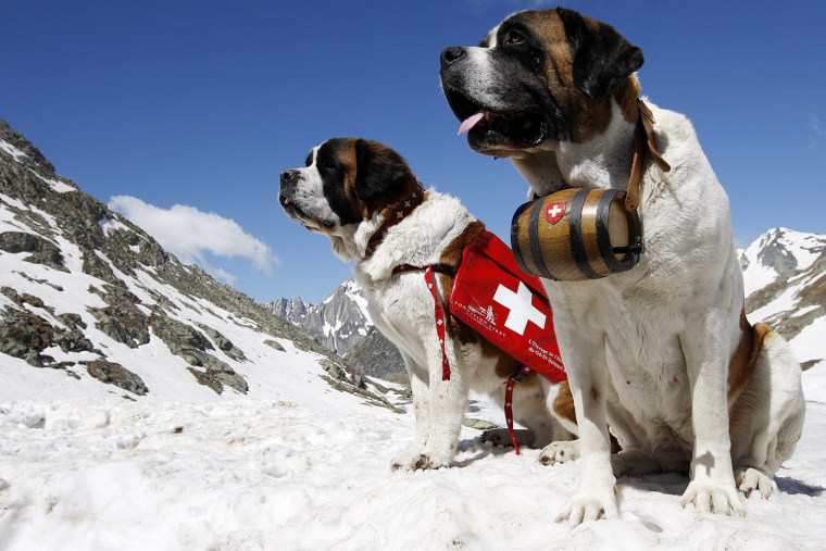 Two Saint Bernard dogs sit in the snow on the Great St. Bernard Pass after returning from their winter quarter in Martigny, Switzerland, Thursday, June 4, 2009. The dogs will spend the summer on the pass and return to Martigny by the end of the year. (AP Photo/KEYSTONE/Jean-Christophe Bott)