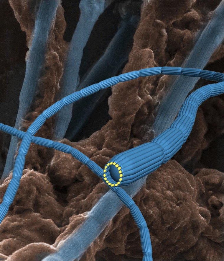 The new Bacterial Nanocables have been found in Aarhus Bay last year, and then published in Nature 218 (2012) 491   <i>Courtesy of Jie Song</i>