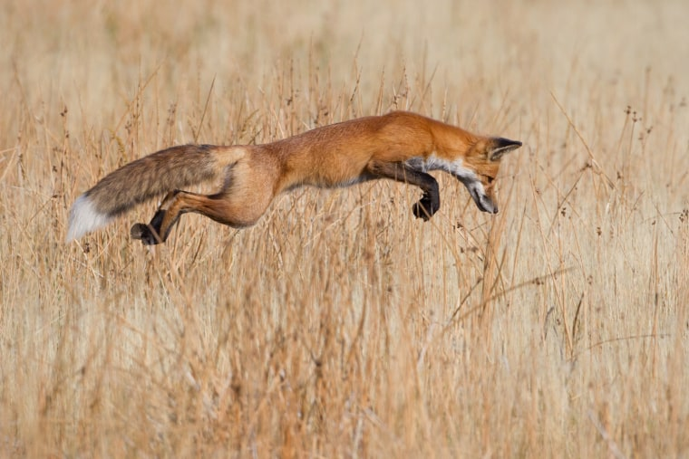 "Lucky pounce, Connor Stefanison (Canada) Winner: The Eric Hosking Portfolio Award ""Anticipating the pounce -- that was the hardest part, "" says Connor, who had come to Yellowstone National Park in Wyoming in search of wildlife as much as the spectacular landscape. He had found this fox, his first ever, on his last day in the park. It was so absorbed in hunting that Connor had plenty of time to get out of the car and settle behind a rock. It quartered the grassland, back and forth, and then started staring intenly at a patch of ground, giving Connor just enough warning of the action to come. When it sprung up, Connor got this shot. And when it landed, the fox got his mouse."