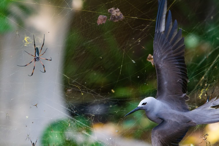 "Sticky situation, Isak Pretorius (South Africa) Winner: Behavior: Birds In May, the seafaring lesser noddies head for land to breed. Their arrival on the tinu island of Cousine in the Seychelles coincides with peak web size for the red-legged golden orb-web spiders. The female spiders, which can grow to the size of a hand, create colossal conjoined webs up to 5 feet in diameter in which the tiny males gather. These are woven from extremely strong silk and are suspended up to 20 feet above the ground, high enough to catch passing bats and birds, though it's flying insects that the spiders are after. Noddiers regularly fly into the webs. Even if they struggle free, the silk clogs up their feathers so they can't fly. This noddy was exhausted, says Isak, ""totally still, its fragile wing so fully stretched that I could see every feather."" The only way to accentuate the female spider was to crop the wings. And it was only human intervention that saved the bird. But a stickier threat awaited it on the same island, native pisonia, or cabbage trees. These are favorite nesting places for lesser noddies, whose feathers get covered in the treees' sticky seeds. If the load is too heavy, they can't fly, fall to the ground and die. But there is an ultimate twist to the story: the corpses provide compost for the seeds, which give rise to new nesting places for future generations of noddies."
