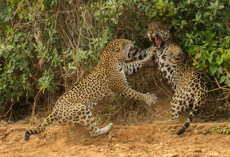 "The spat, Joe McDonald (USA) Winner: Behavior: Mammals For several hours, the noisy sounds of courtship and mating were all Joe was treated to as he sat, sweltering in the hot sun, in a boat on the Three Brothers River in Brazi's Pantanal. So when the female jaguar finally emerged from the undergrowth and walked down to the river to drink, Joe was grateful for the photo opportunity. But that was just a start. After slaking her thirst, the female flpped down on the sand. Then the male appeared. After drinking and scent-marking, he approached the female, who was lying in what appeared to be a pose of enticement. At least, that's what both Joe and the male thought. She rose, growled and suddenly charged, slamming the male back as he reared up to avoid her outstretched claws. His own claws were sheathed. ""I couldn't believe the energy and intensity of those three seconds,"" says Joe. The pair then disappeared into the undergrowth to resume their courtship, leaving Joe with a sense of awe and a rare, winning image."