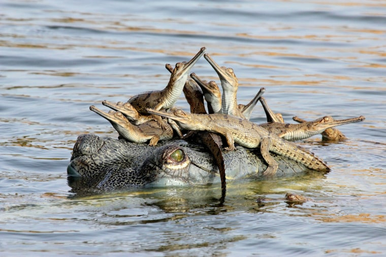 "Mother's little headful, Udayan Rao Pawar (India) Winner: Young Wildlife Photographer of the Year One night Udayan camped near a nesting colony of gharials on the banks of the Chambal River -- two groups of them, each with more than 100 hatchlings. Before daybreak, he crept down and hid behind rocks beside the babies. ""I could hear them making little grunting sounds,"" says Udayan. ""Very soon a large female surfaced near the shore, checking on her charges. Some of the hatchlings swam to her and climbed onto her head. Perhaps it made them feel safe."" It turned out that she was the chief female of the group, looking after all the hatchilings. Though he saw a few more females and a male, they never came close. Gharials were once found in rivers all over the Indian subcontinent. Today, just 2000 or so breeding adults remain in just 2 percent of the former range. ""The Chambal River is the gharial's last stronghold,"" says Udayan, ""but it is threatened by illegal sand-mining and fishing."""