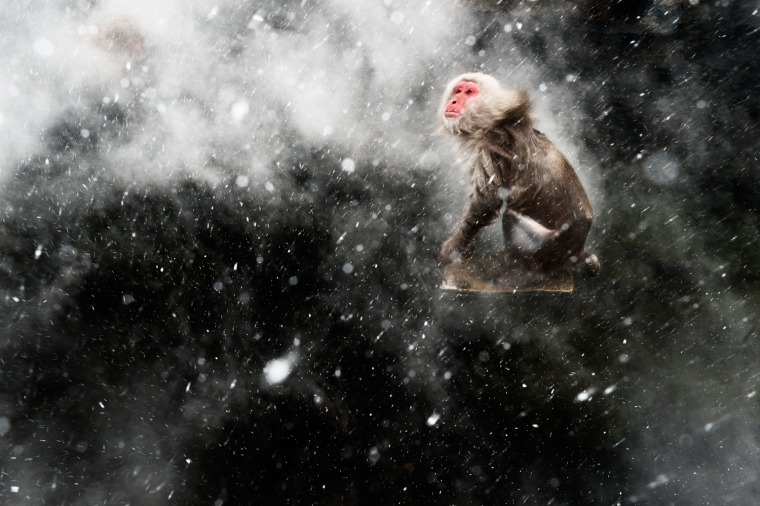 "Snow moment, Jasper Doest (The Netherlands) Winner: Creative Visions  When photogrpahing the famous Japancese macaques around the hot springs of Jigokudani, central Japan, jasper had become fascinated by the surreal effects created by the arrival of a cold wind. Occasionally, a blast would blow through the steam rising off the pools. If it was snowing, the result would be a mesmerizing pattern of swirling steam and snowflakes, which would whirl around any macaques warming up in the pools. But capturing the moment required total luck -- for Jasper to be there when the wind bleow and for the monkeys to be in the pool. For that luck to arrive, he had to wait another year.  Returning the next winter, he determined to get the shot he'd been obsessing aobut. ""As it kept snowing, I stood there, willing the wind to pick up. I felt it just had to happen -- sometimes you can push your luck if you just wait long enought. "" But as the steam started whirling above the water, there wasn't a monkey in sight. ""All of a sudden one adult appeared and jumped on a rock in the middle of the pool. When I started shaking off the snow I knew this was the moment."""