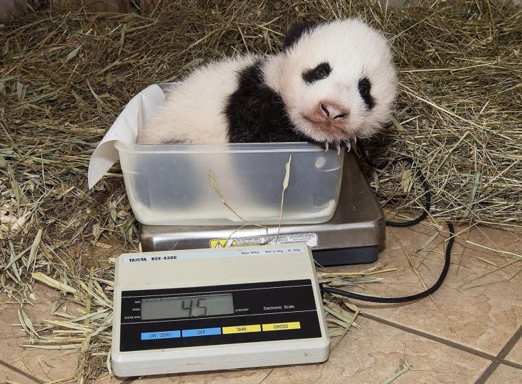 Image: New born panda in Viennna