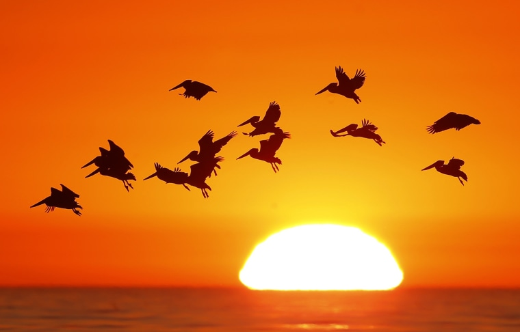 Image: Pelicans silhouetted by a setting sun fly as they look for fish along the California coastline near Leucadia, California