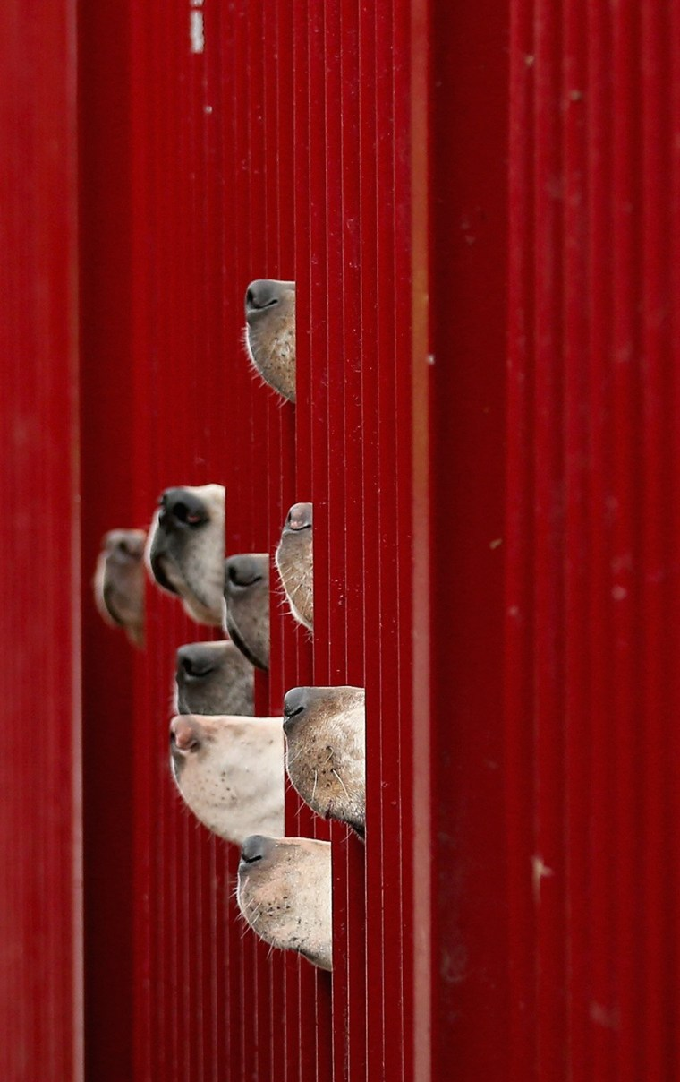 Image: BESTPIX Kennels Prepare Their Dogs For The Start Of The Fox Hunting Season