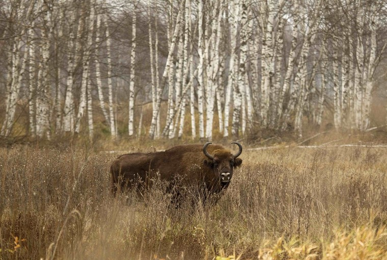 Image: A bison is seen in a forest in the Nalibokskaya Pushcha Reserve, near the village of Rum