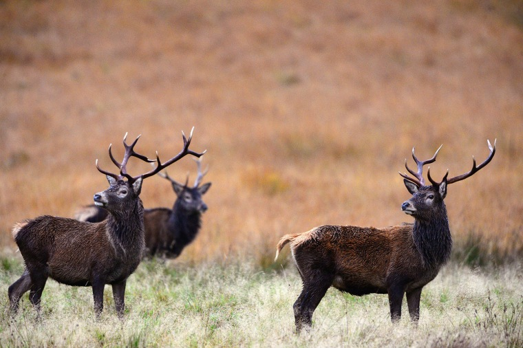 Image: Scottish Red Dear Rutting Season Draws To A Close