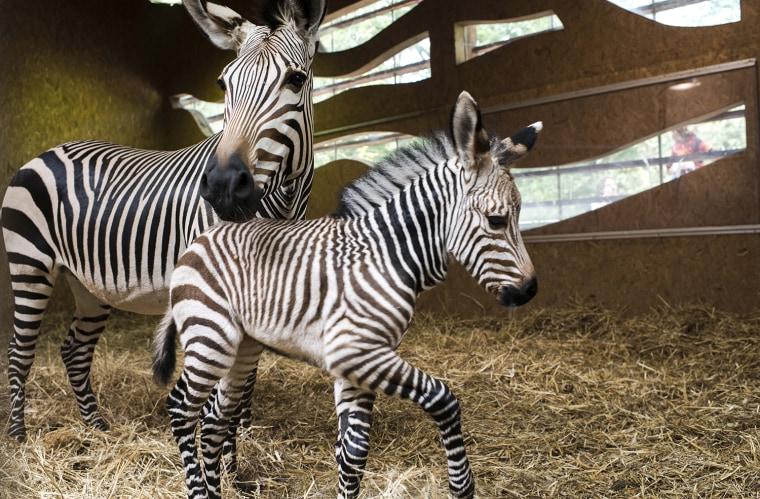 Image: Hartmann's Mountain Zebra Born At Lyon Zoo