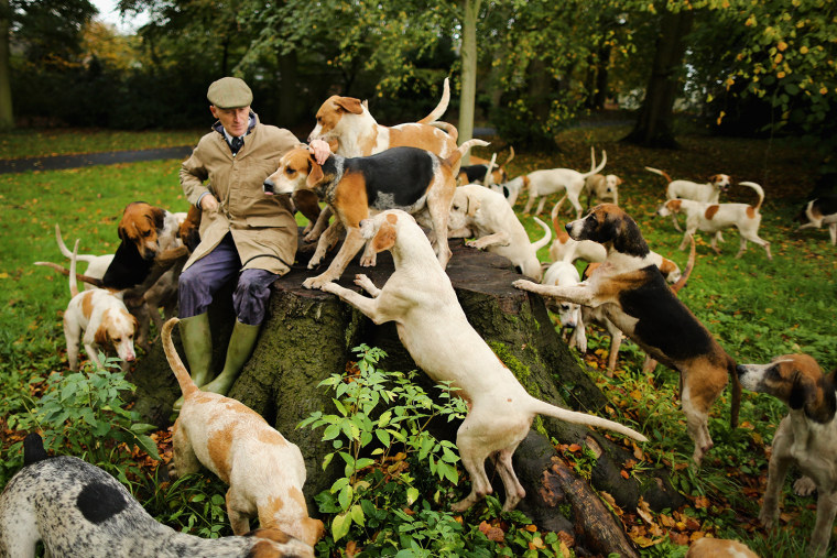 Image: Kennels Prepare Their Dogs For The Start Of The Fox Hunting Season