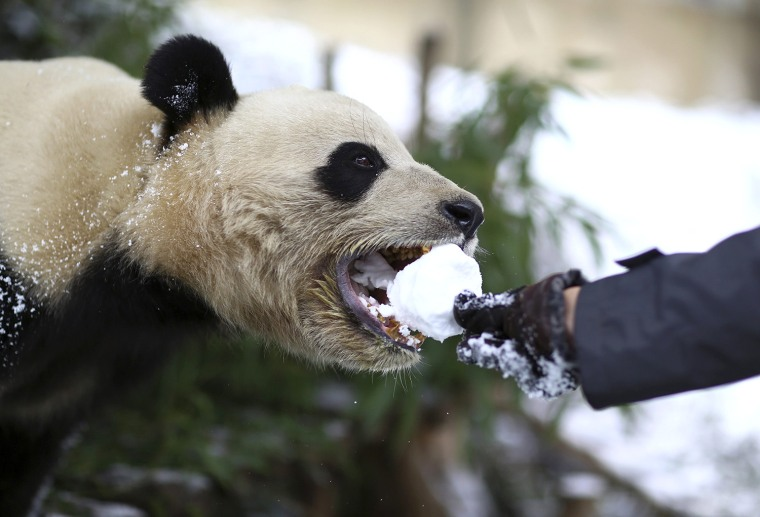 Image: A visitor feeds a giant panda with a snowball at a zoo in Kunming