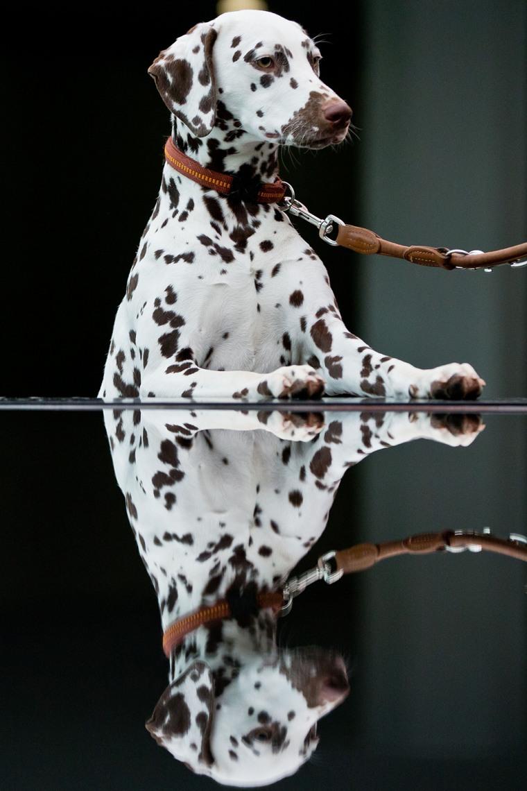 Image: GERMANY-ANIMALS-PEDIGREE-DOG-SHOW