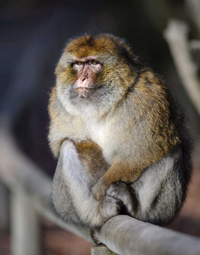 Image: GERMANY-ANIMALS-BARBARY MACAQUE