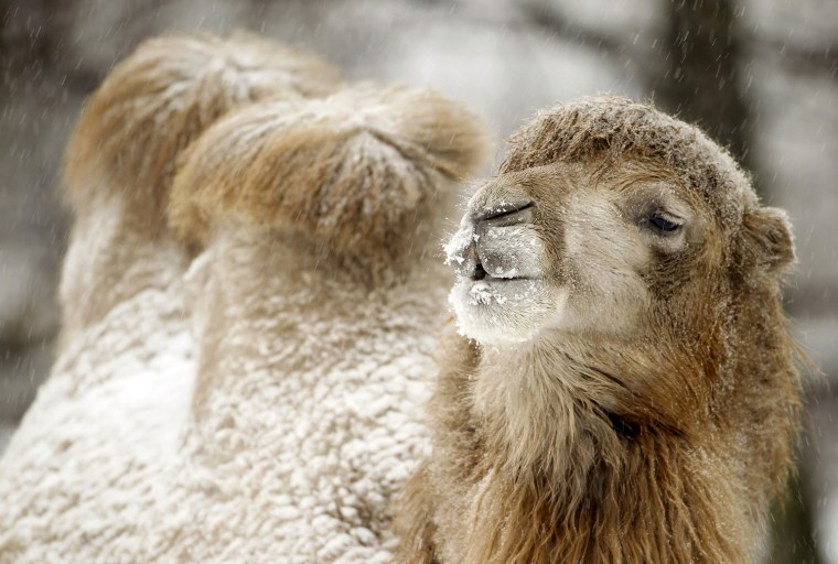 Image: Camel covered with snow is seen after heavy snowfall in a zoo in Minsk