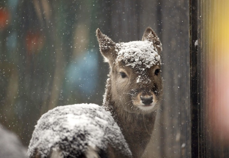 Image: A Pere David's deer, covered with snow, is seen after heavy snowfall in a zoo in Minsk