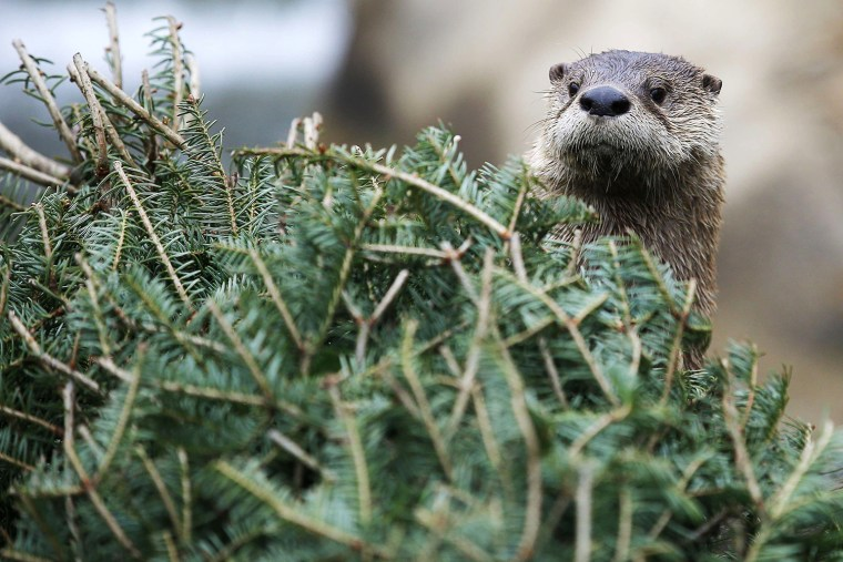 Image: A  river otter looks for food stashed in a used Christmas tree at the Buttonwood Park Zoo in New Bedford