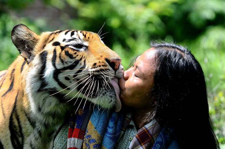Image: ***BESTPIX*** Indonesian Man Best Friends With 28 Stone Bengal Tiger