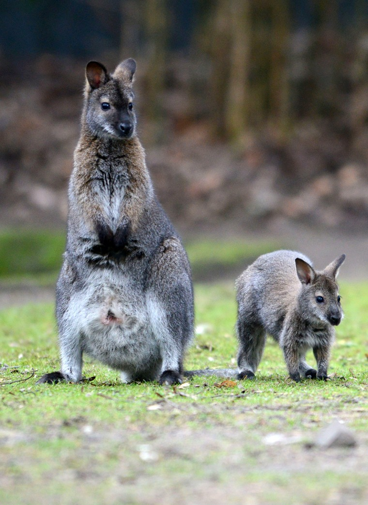 Image: GERMANY-ANIMALS-ZOO-WALLABY