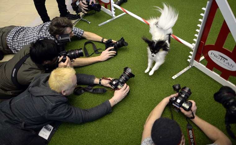 Image: A Papillon jumps a hurdle during a press event at Madison Square Garden