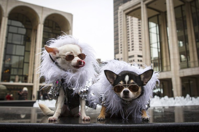 Image: Chihuahuas Kimba and Bogie wear doggy fashion at the Lincoln Center for the Performing Arts during New York Fashion Week