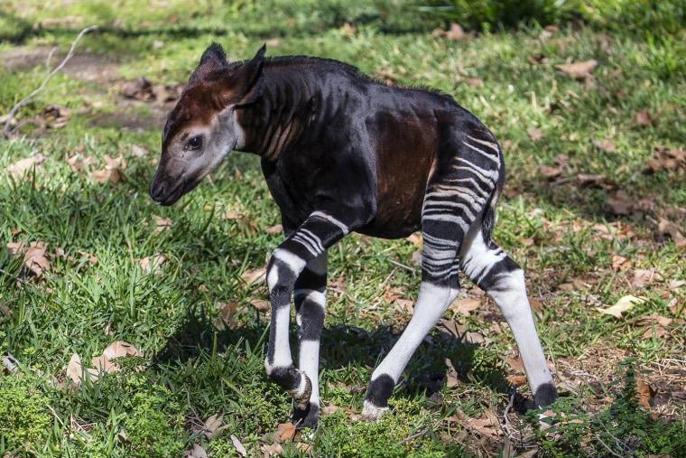 Image: Okapi