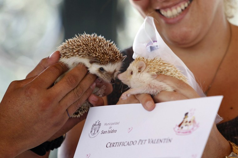 Image: A hedgehog wearing a bridal veil is seen next to another after making a paw print on a symbolic pets wedding certificate during Valentine's Day celebrations organized by a local municipality in Lima
